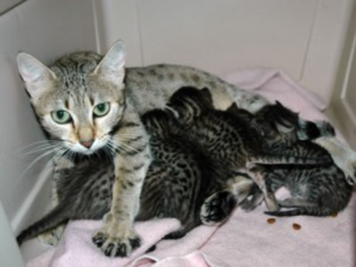 Cat Pregnancy - Its Delivery Time!