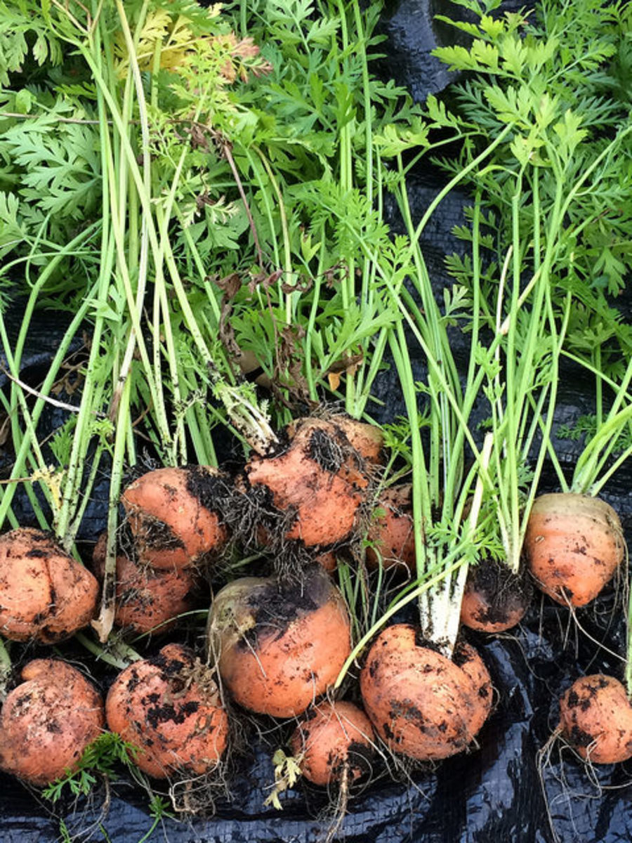 Globe carrots can be perfect for growing in pot and container.