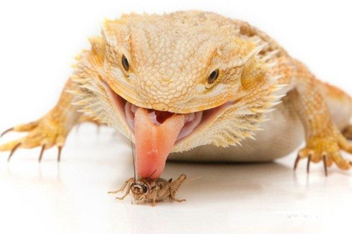raising-a-bearded-dragon