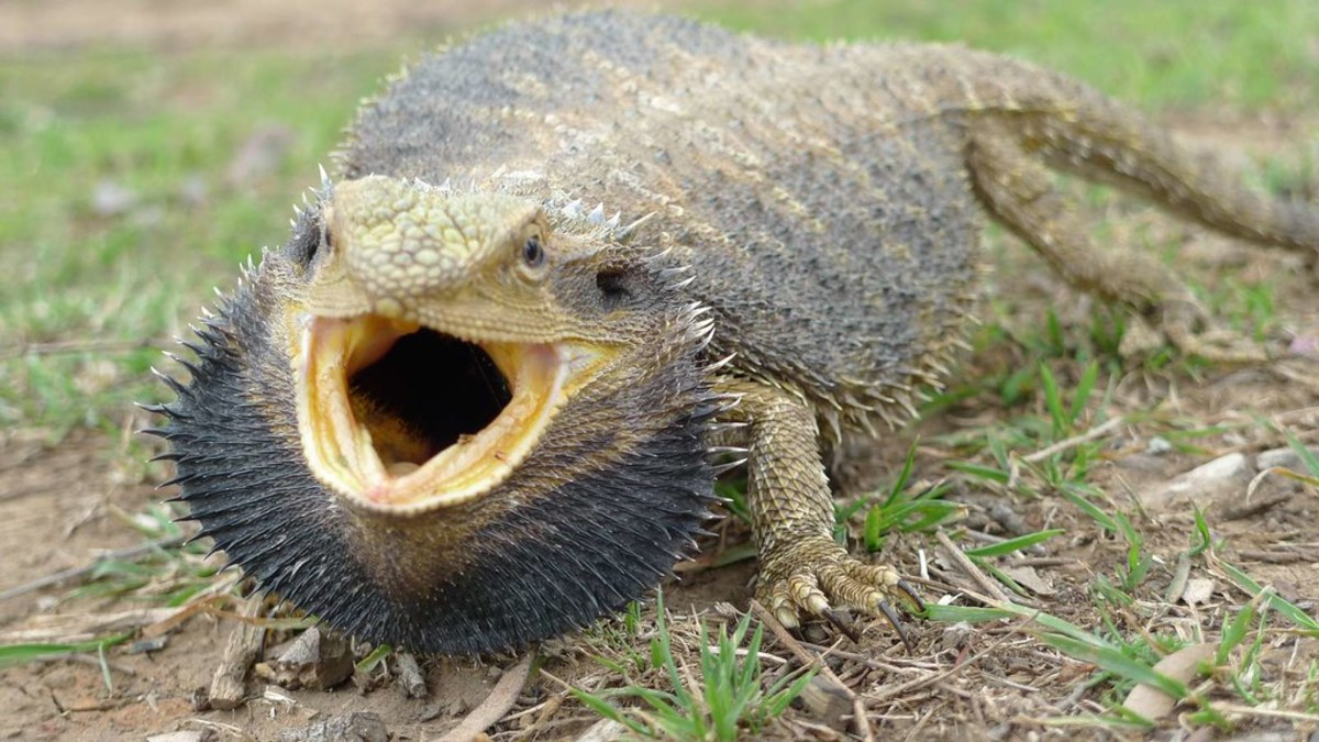 Angry bearded dragon, beard fluffed up body flat.