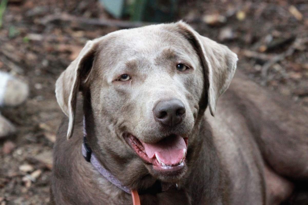 Rare Silver Labradors Are Causing a Frenzy in Dog Media Circles: Can You Tell What You See?