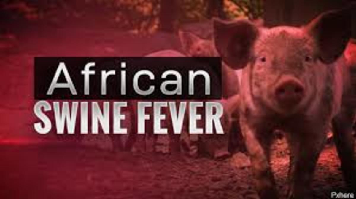 This is the introductory picture of African swine Fever that kills pigs to the global community