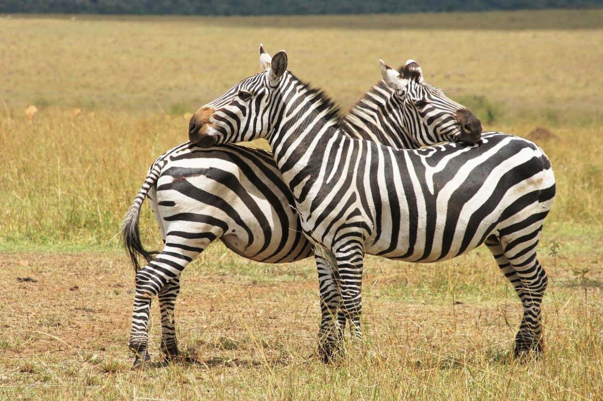 Zebras, looking like butterflies.