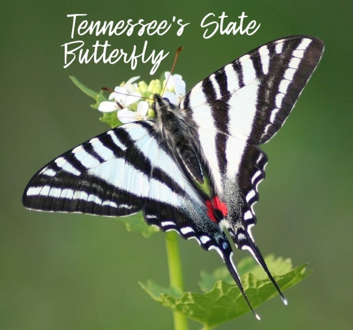 the-state-butterfly-of-tennessee