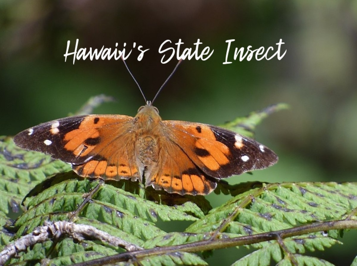 The State Insect of Hawaii