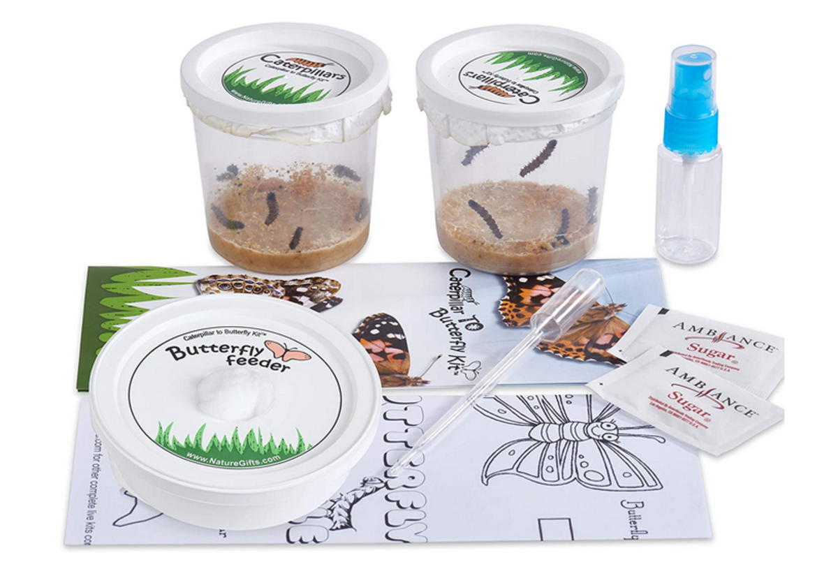 This butterfly rearing kit includes Vanessa cardui, a species closely related to the Kamehameha butterfly.
