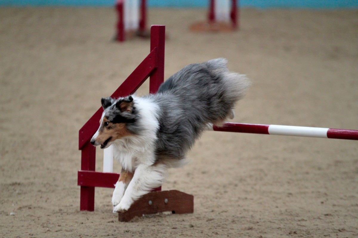 Dogs with turned out paws may not be able to compete in high impact dog sports such as agility.