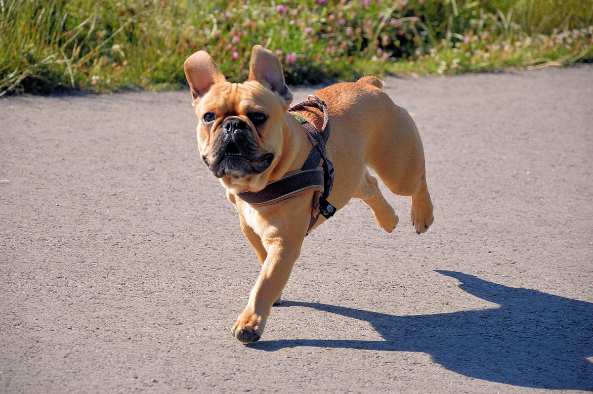 Straight wrists help a dog to run and walk, by spreading the impact of the force of landing at speed