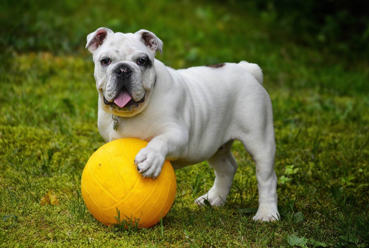 Bulldogs are another breed that can be prone to toe-out paws