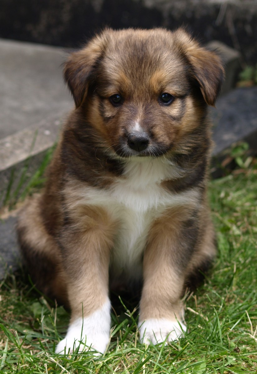 Puppies sometimes turn out their paws while they are growing, this often corrects itself naturally. If it does not, then a vet should take a look.