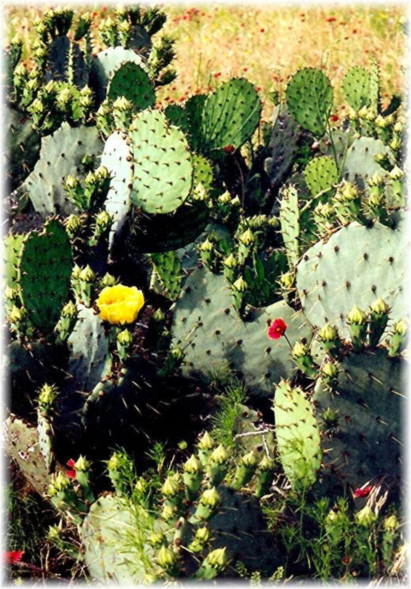 Cactus just starting to bloom along with other wildflowers