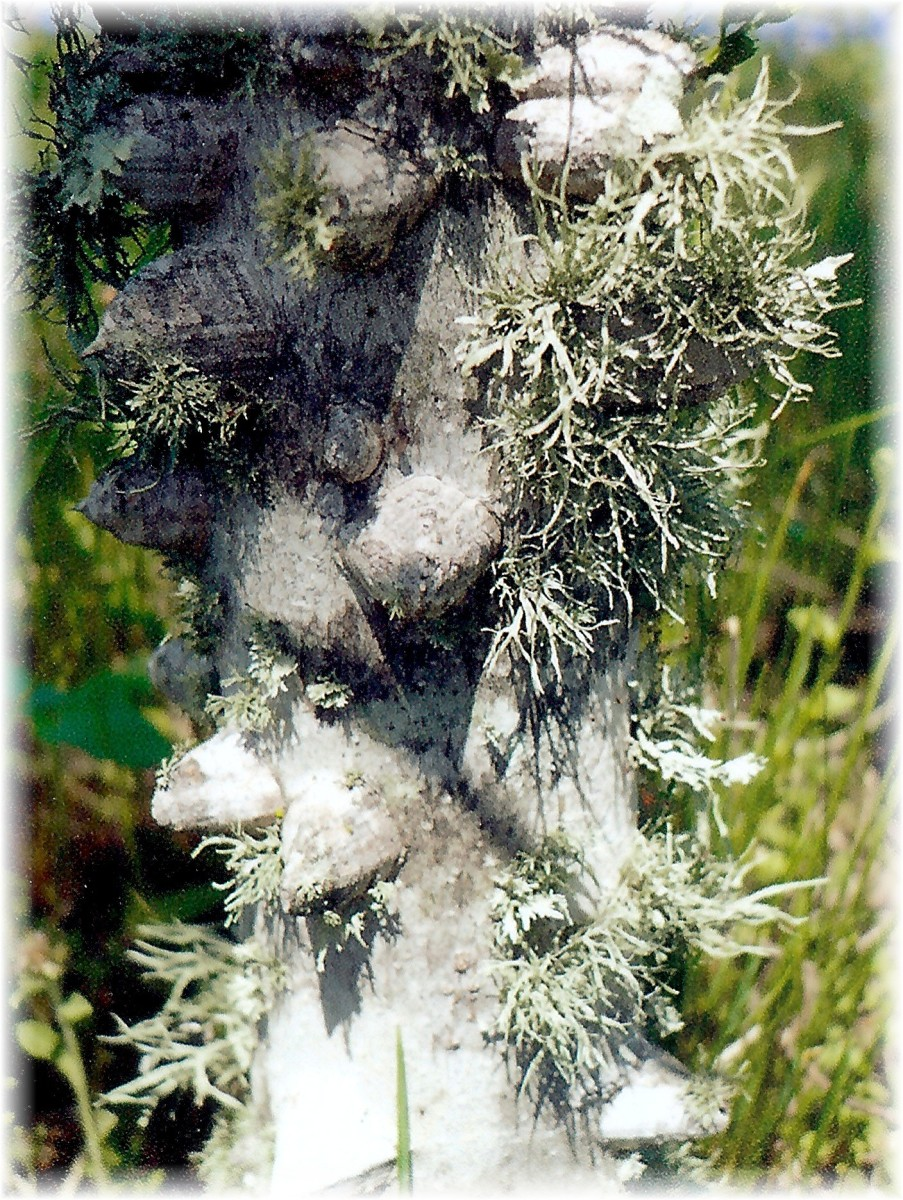 An interesting dead tree trunk with lichens growing on it.