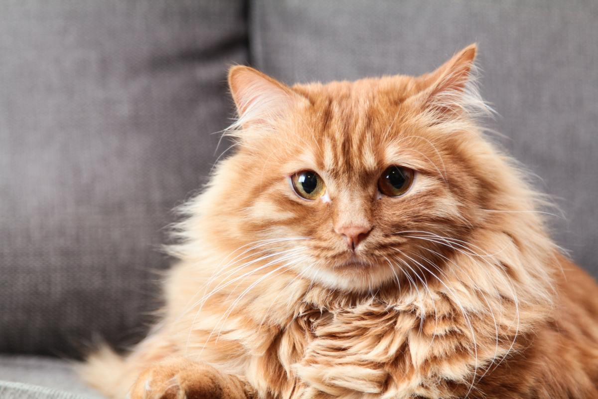 Does this cat look more like an Airwolf, Al Bundy, or Alf?
