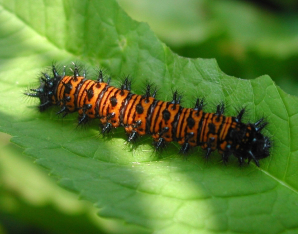 Caterpillar of the Baltimore Checkerspot