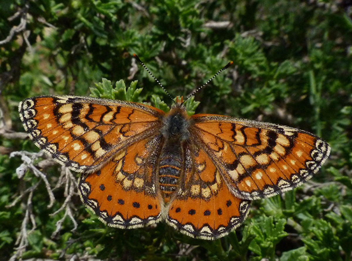 "The ""Spanish fritillary,"" a European relative of the Baltimore checkerspot"