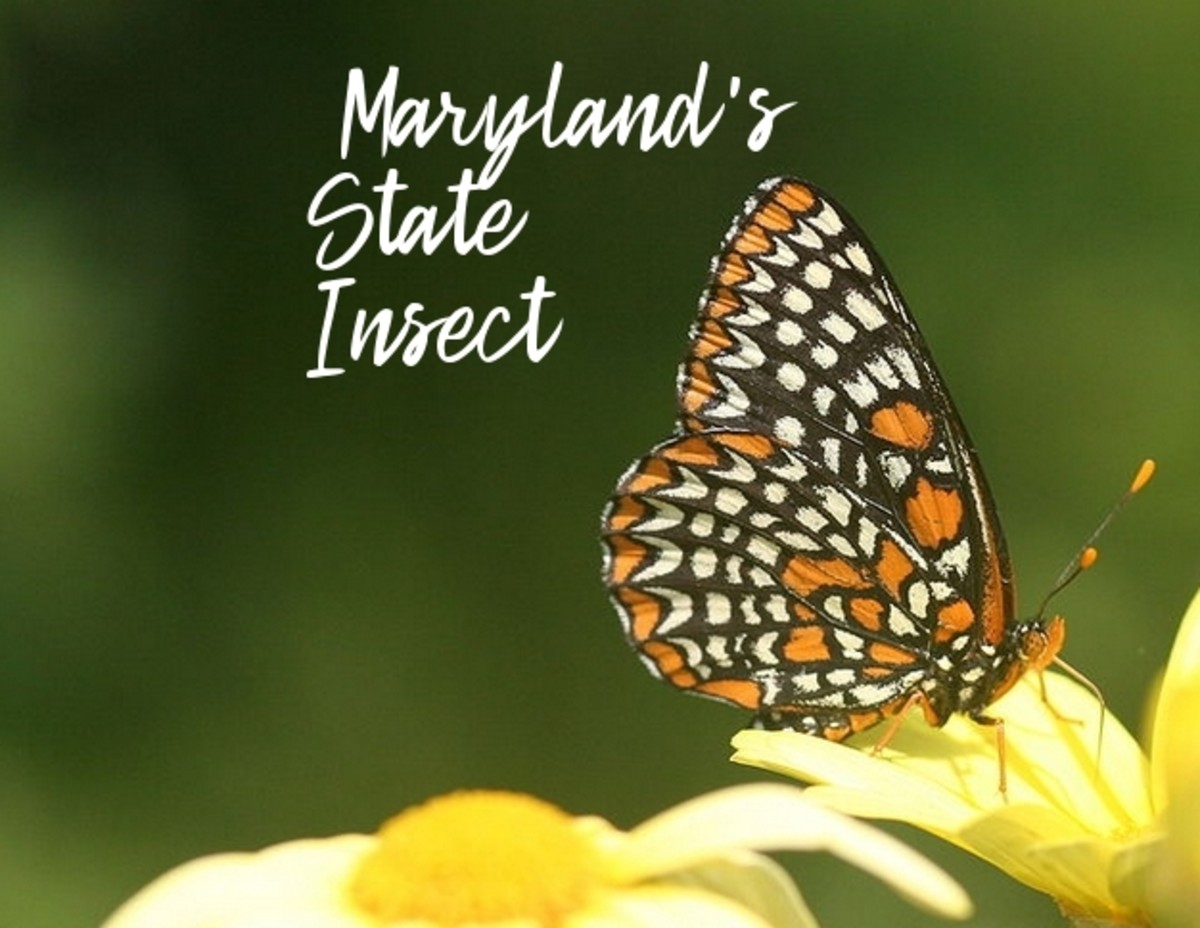 The State Insect of Maryland: The Baltimore Checkerspot Butterfly