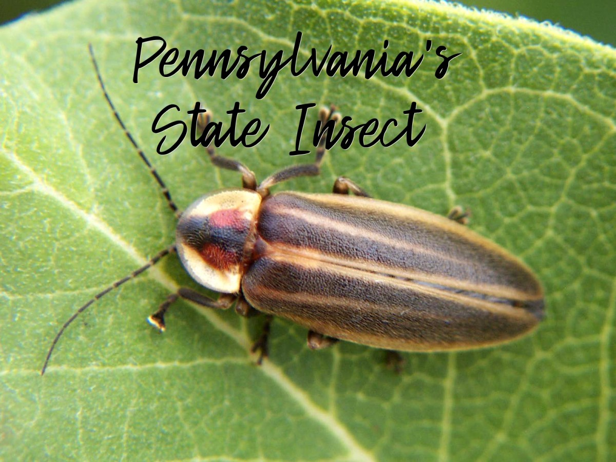 The State Insect of Pennsylvania: The Pennsylvania Firefly