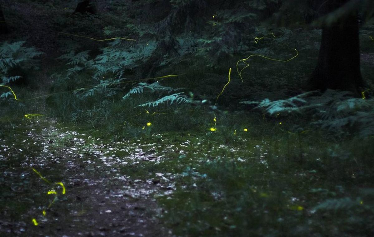 30-second exposure of fireflies in the woods.