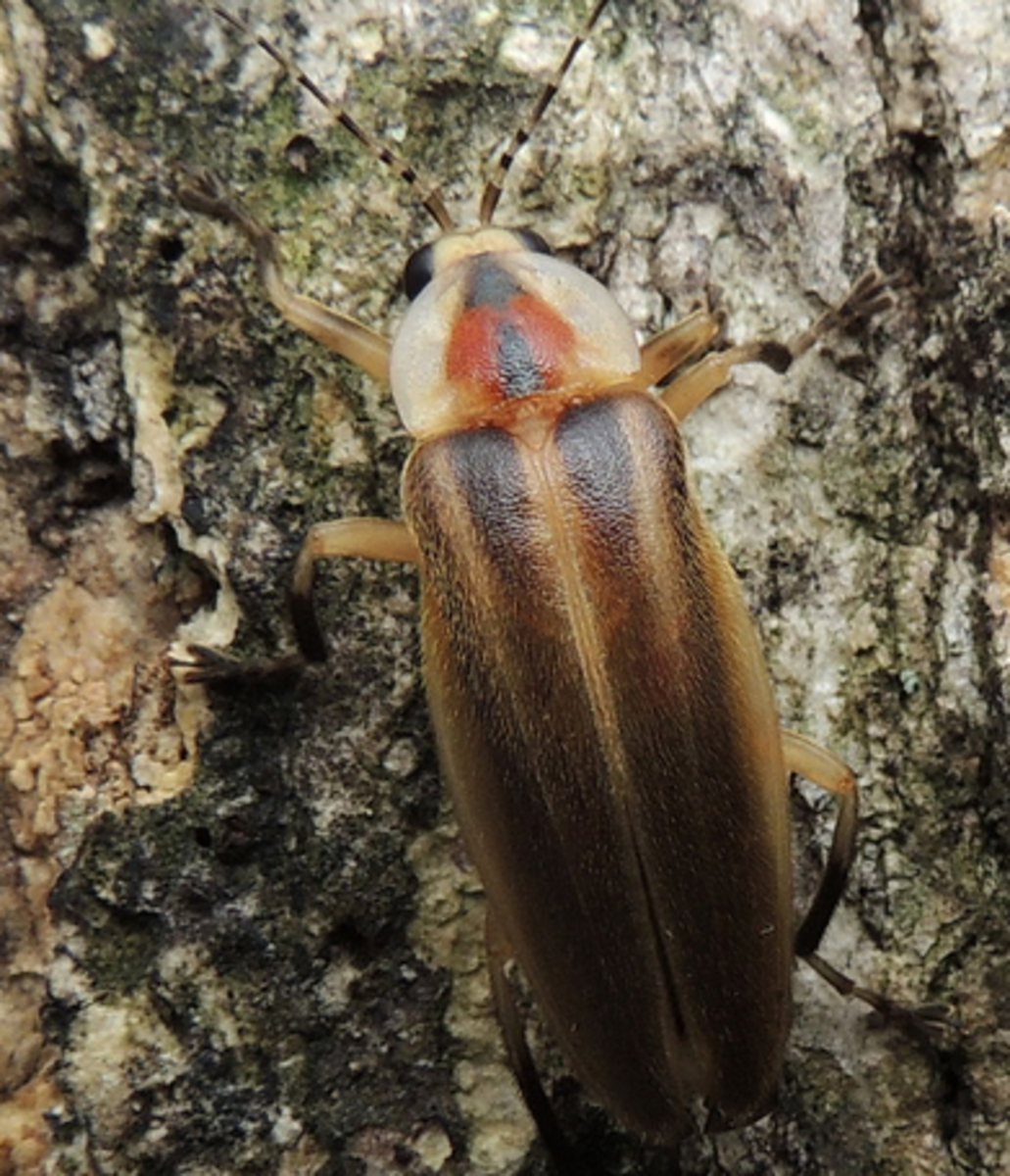 Photuris pensylvanica
