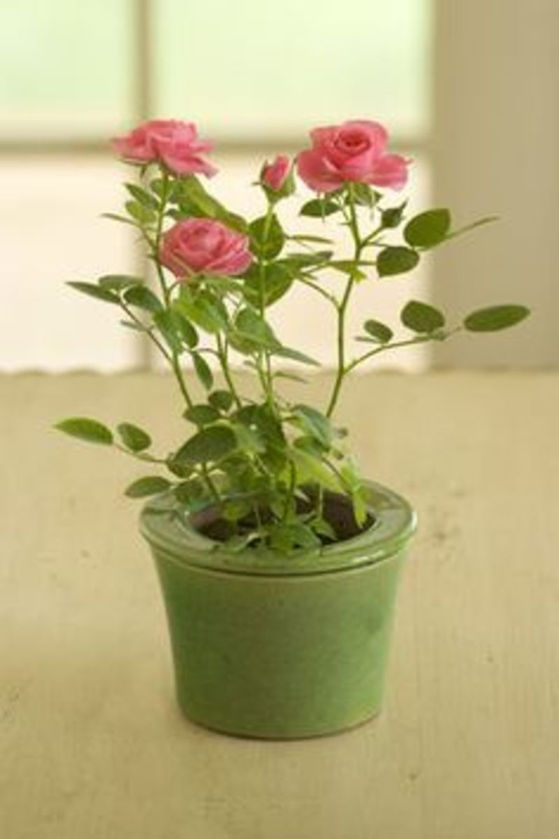 "A ""leggy"" rose bush."