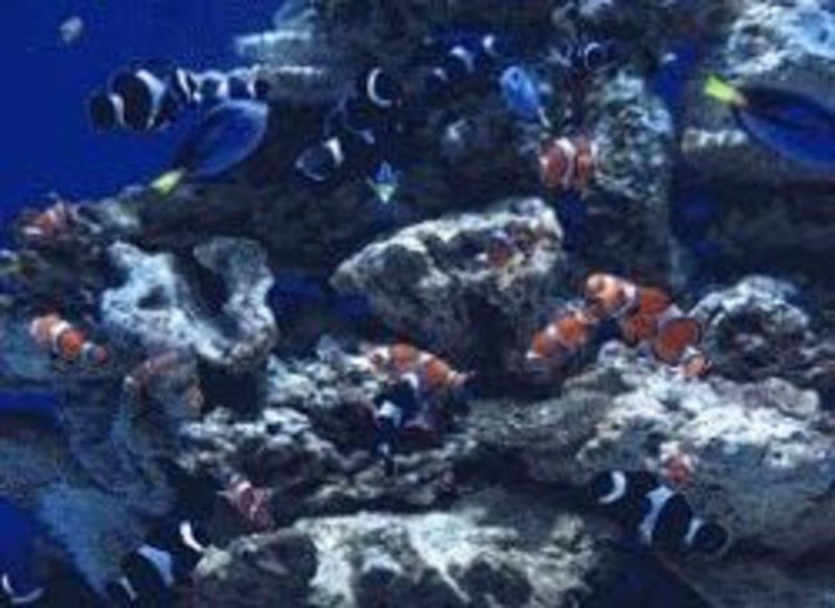 clownfish-aquarium