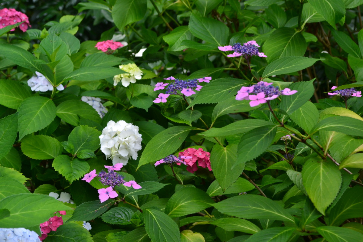hydrangea flowers come in an array of colours, shapes and sizes.