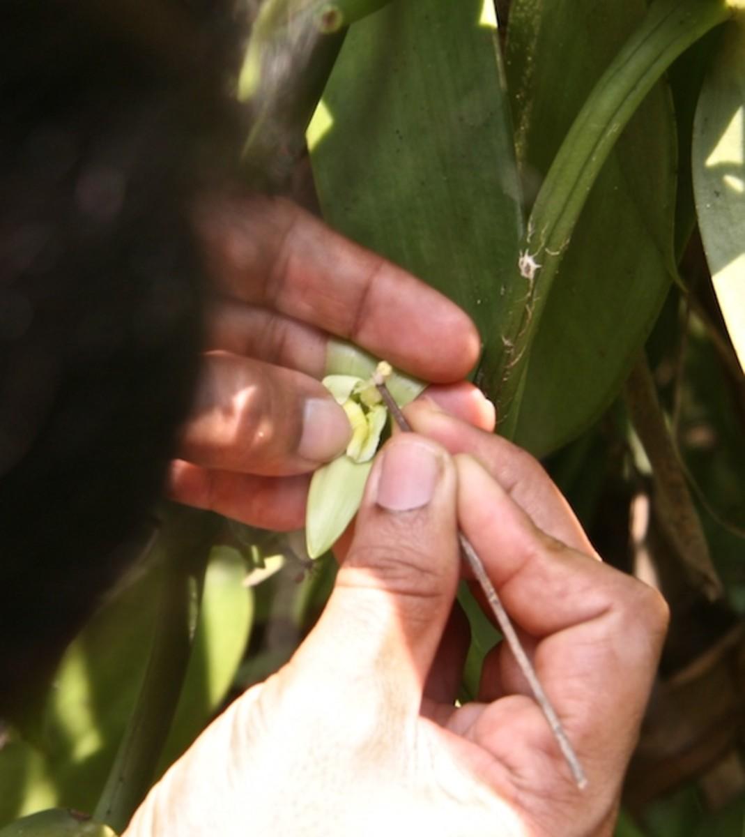 Hand Pollinating a Vanilla Flower