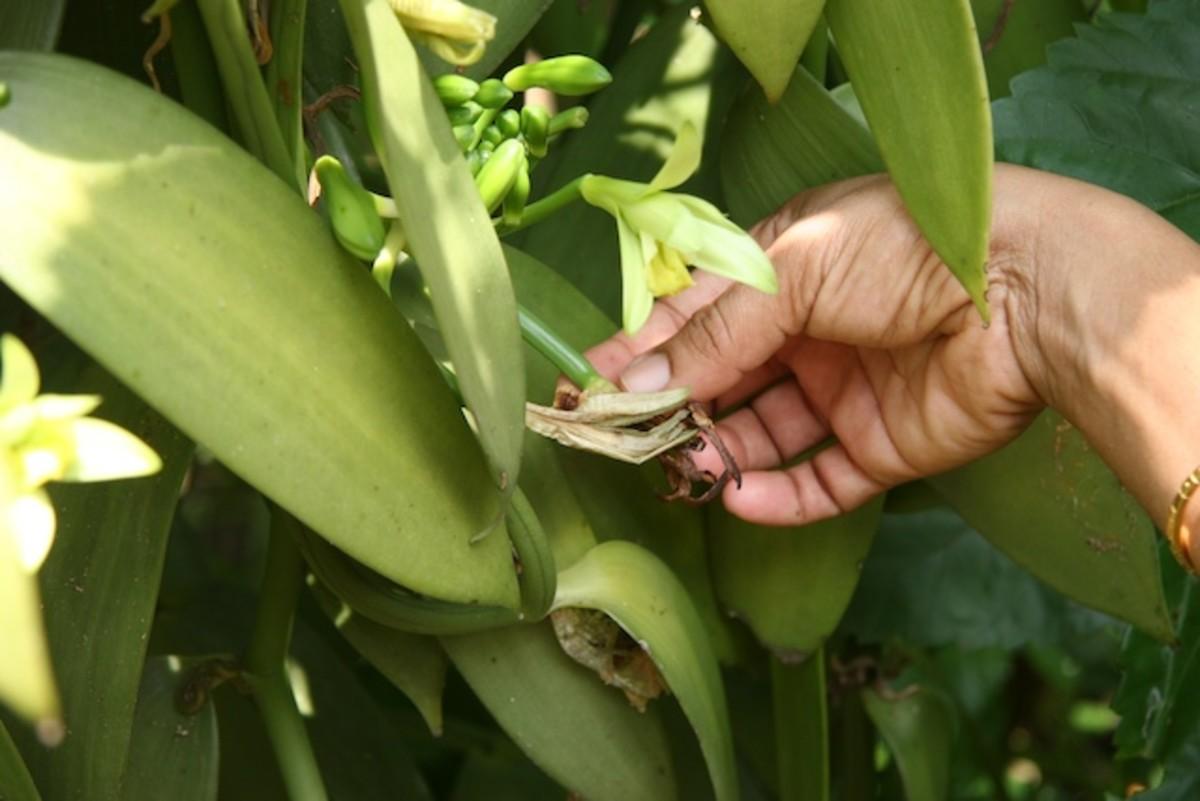 Growing Vanilla Bean
