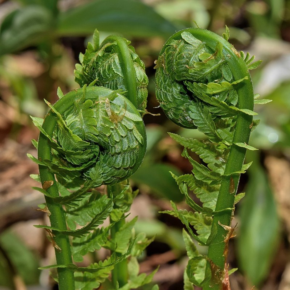 The sterile fronds emerge in the spring as fiddleheads which are edible.