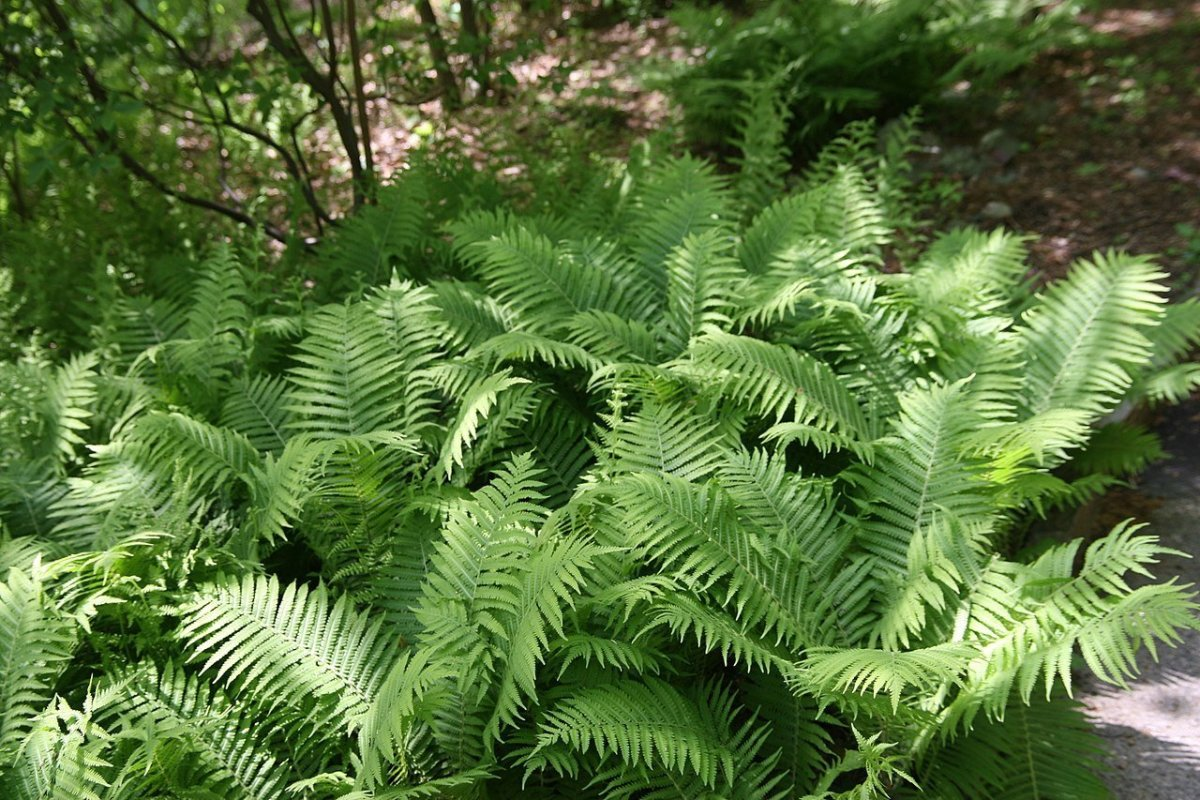 How to Grow Ostrich Fern, a Native Plant