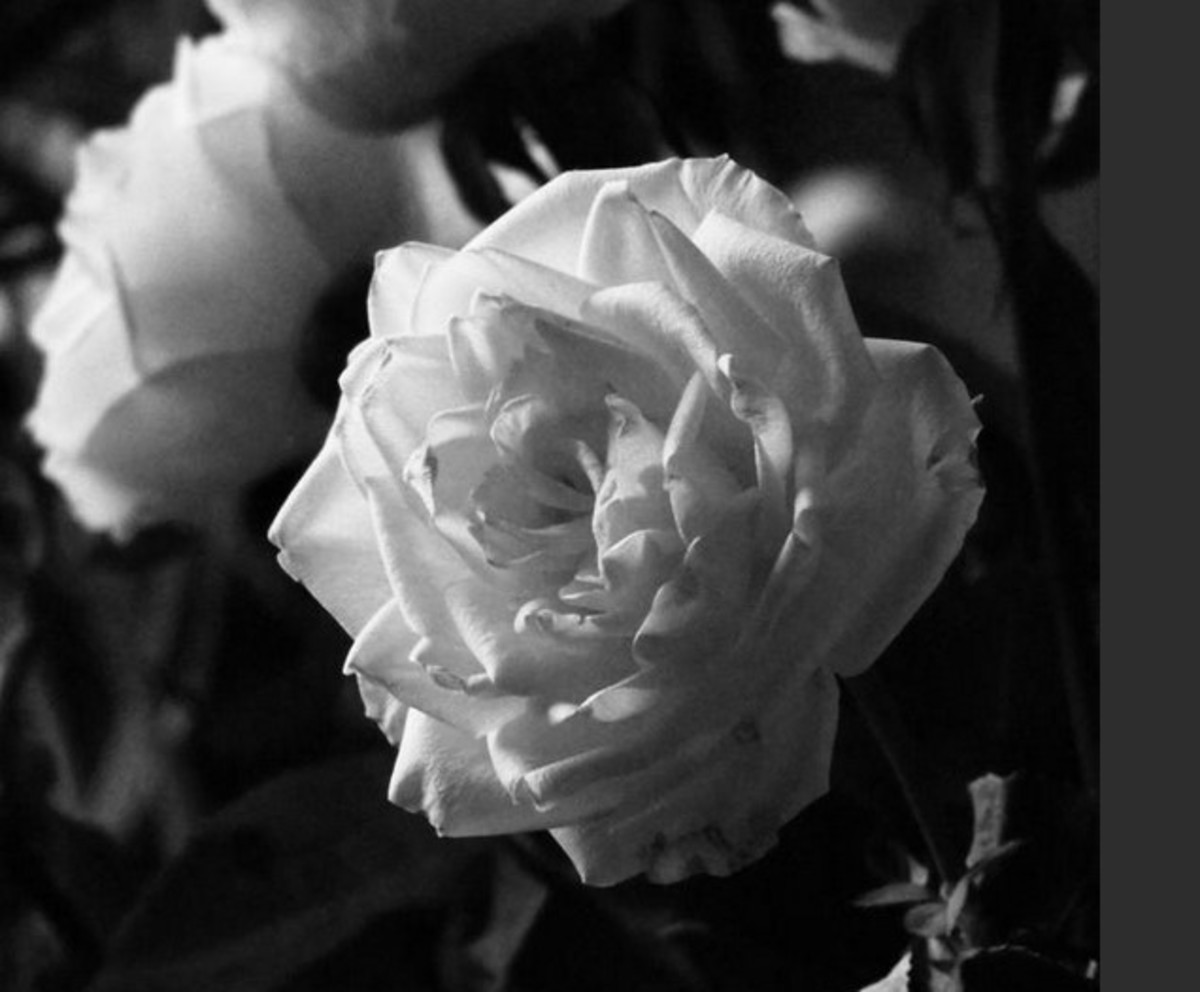 The Beautiful Hidden Meaning of Flowers: White Roses