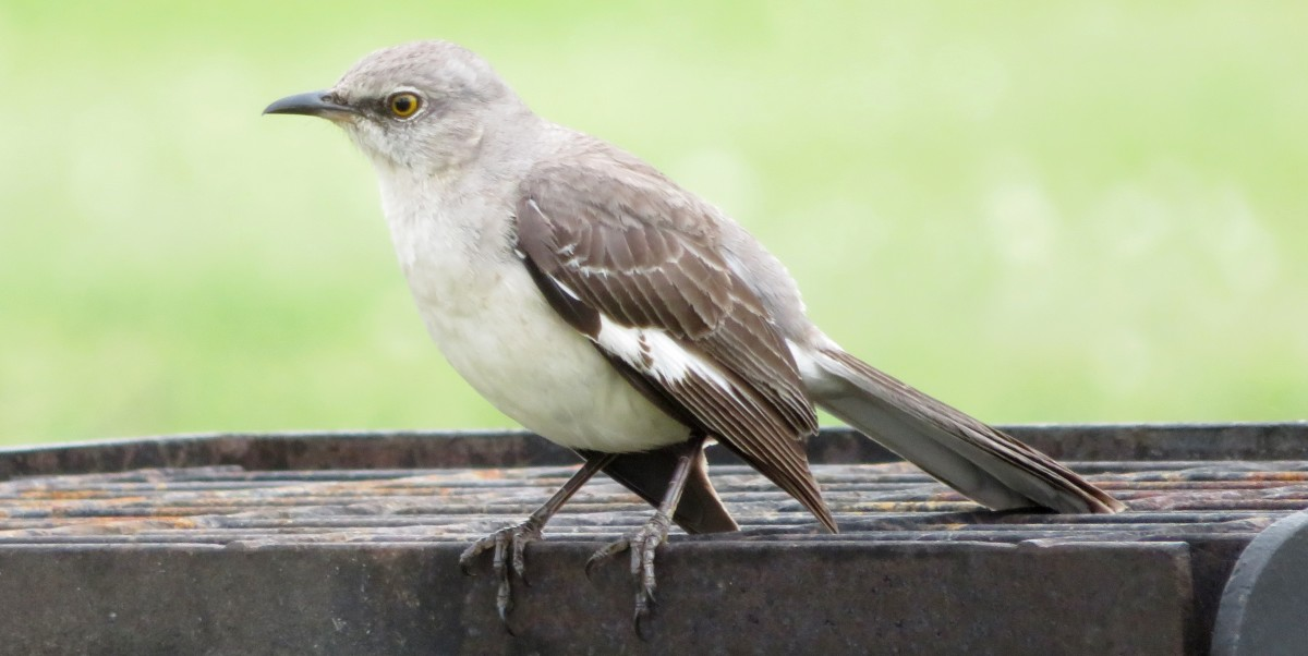 Mockingbirds and Their Excellent Mimicry of Sounds