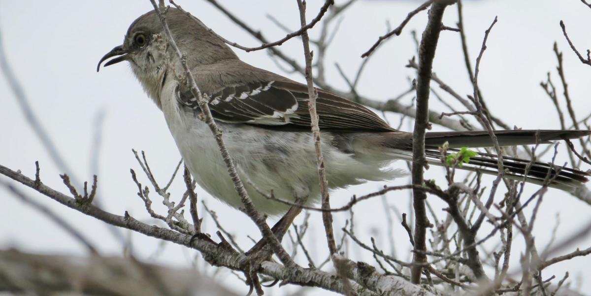 Northern Mockingbird in Houston, Texas