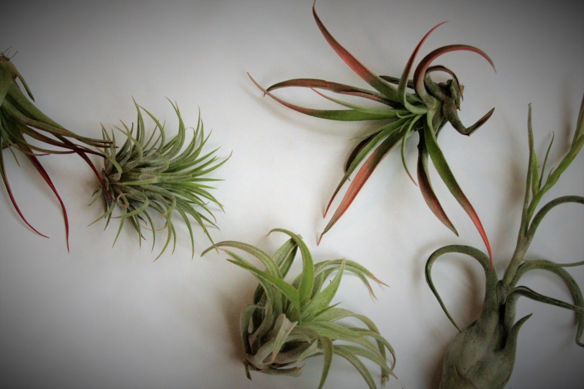 I took this pic just after purchasing my tillies. From left to right, they are T. brachycaulos, T. ionantha, T. xenographica, another T. brachycaulos, and T. bulbosa.
