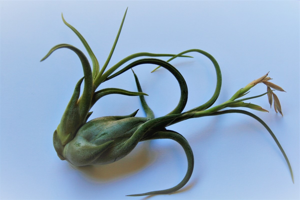"""This Tillandsia bulbosa plant, purchased last year, has already produced a """"pup."""""""