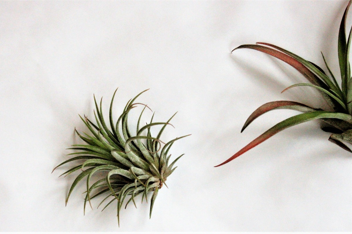 Air plants needs just as much care as other houseplants—maybe even more!