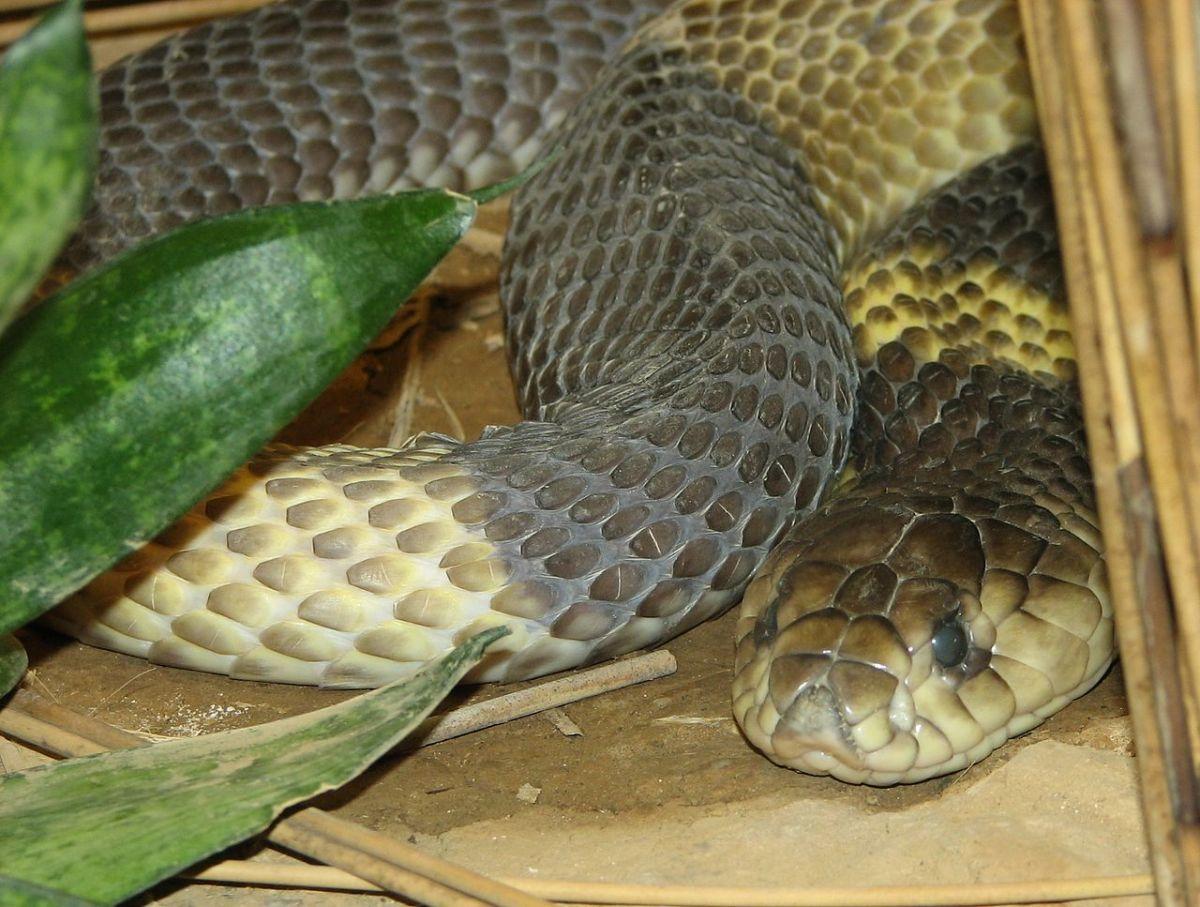 Large Egyptian cobra without its hood flared