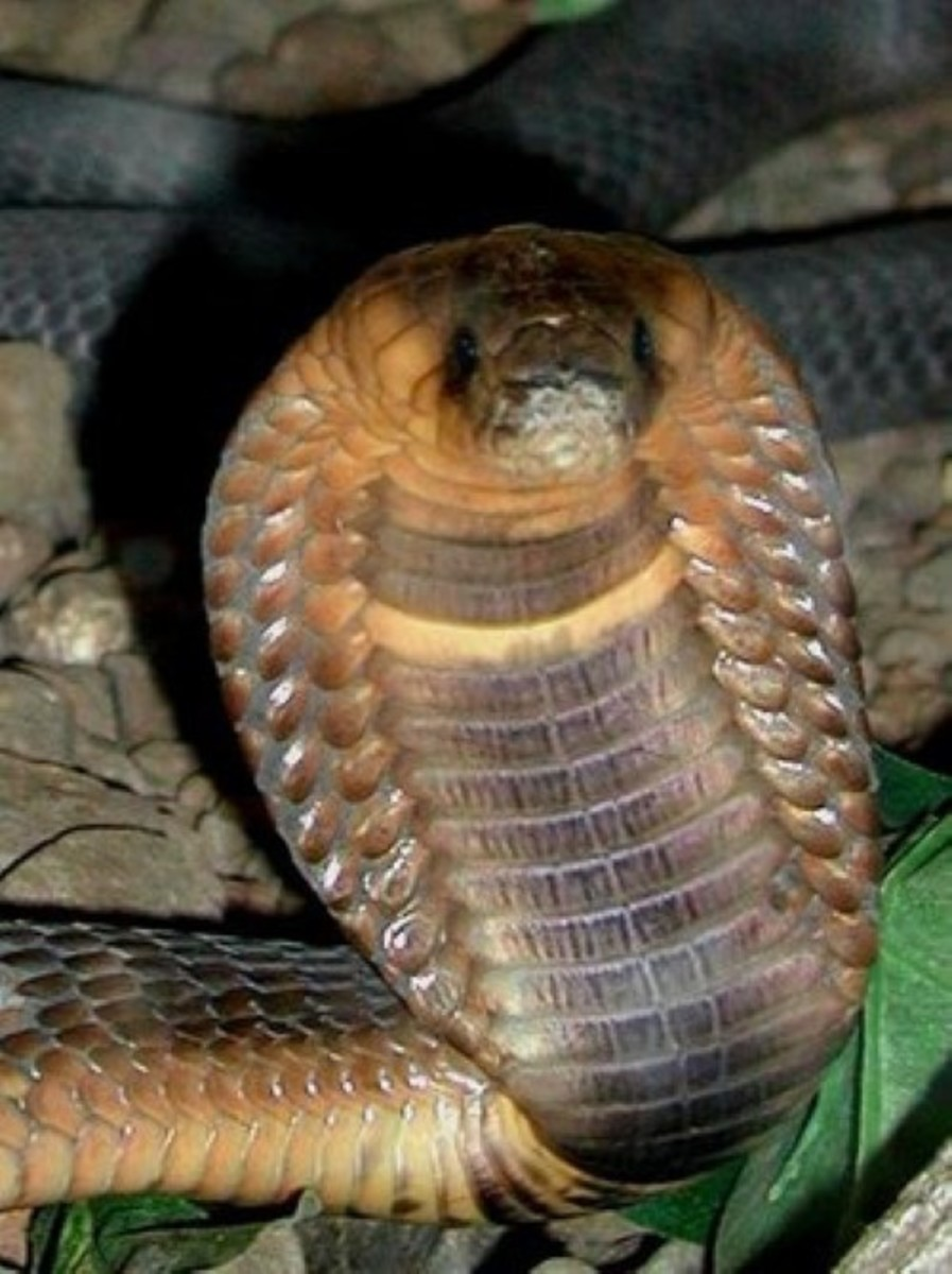 A large Egyptian cobra preparing to defend itself from attack
