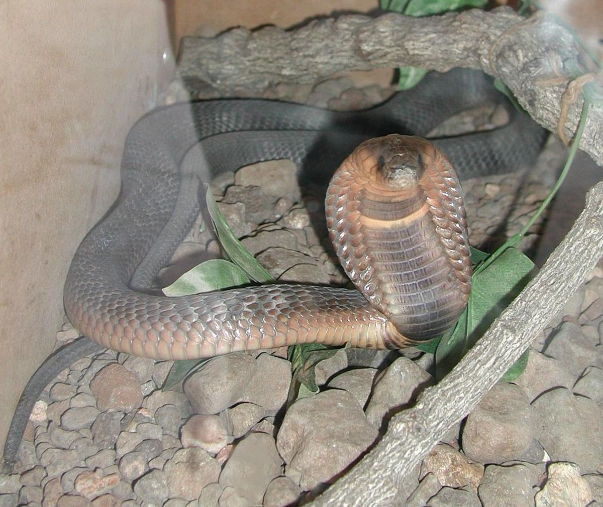 An Egyptian cobra bred in captivity