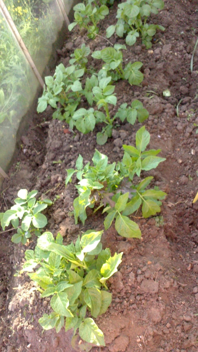 Potatoes that had top up soil added