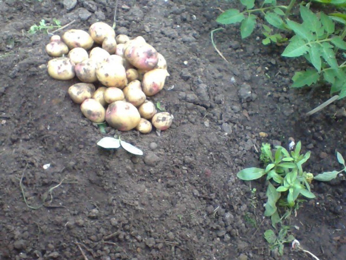 My first harvest of my potatoes below and still growing