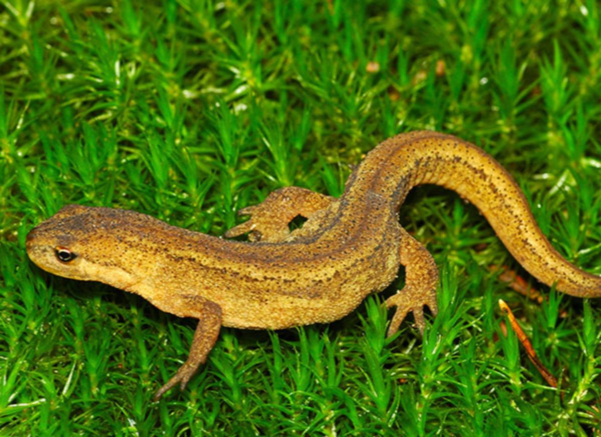 The Smooth Newt (Lissotriton Vulgaris)