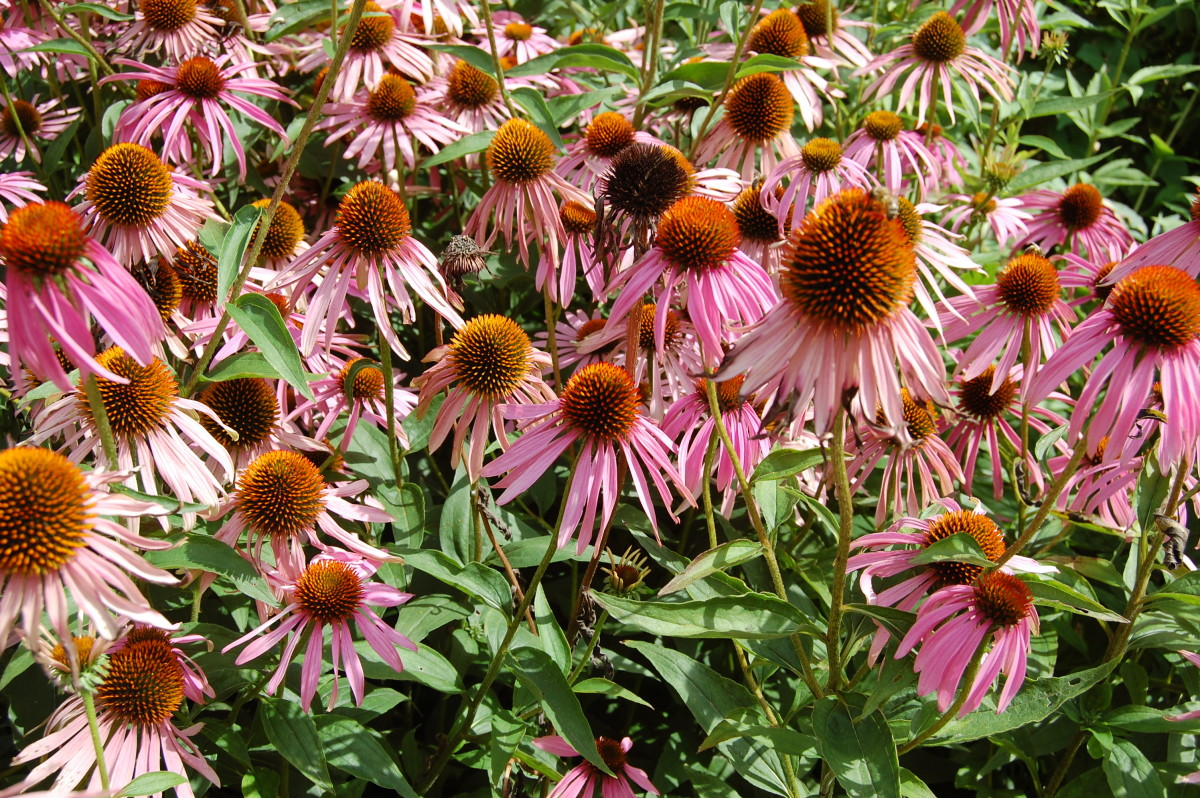 Purple Coneflower can be planted in Winter