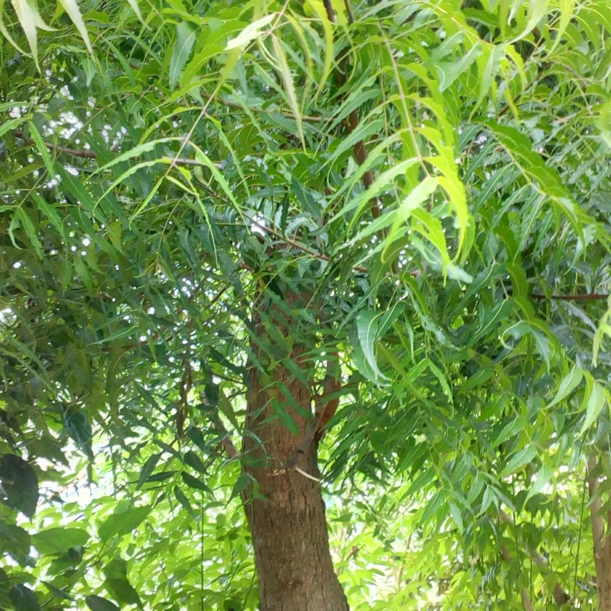 Interesting Facts About the Neem Tree-Description and Uses