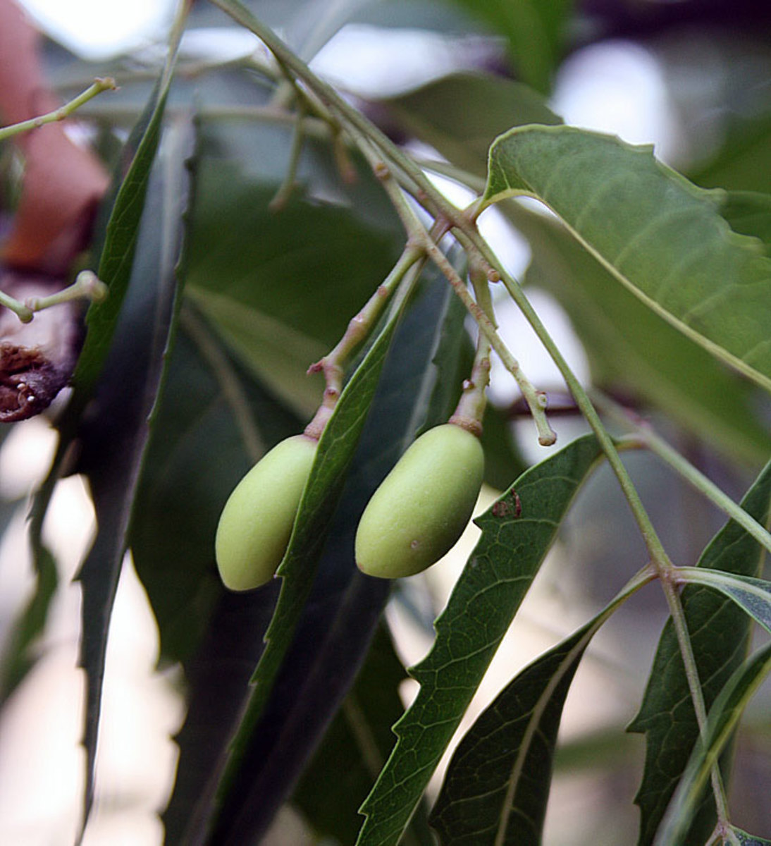 Unripe Neem Fruits