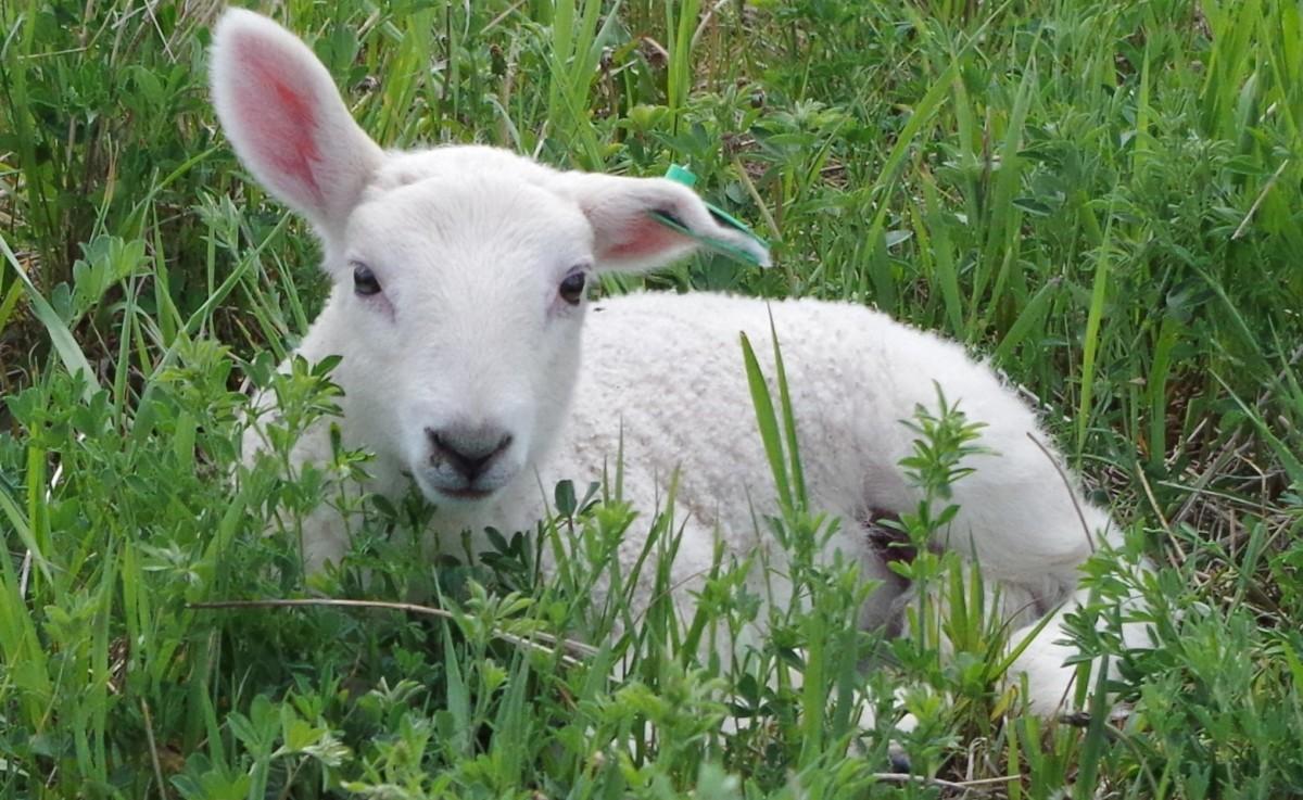 raising-a-bottle-lamb
