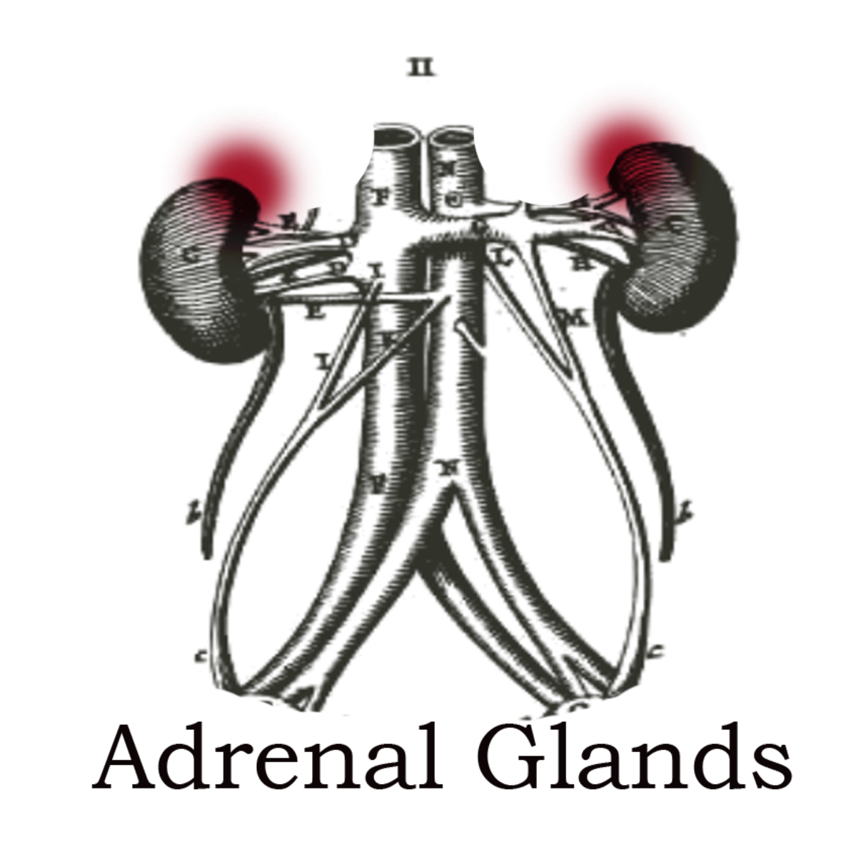Adrenal Glands Create Adrenaline