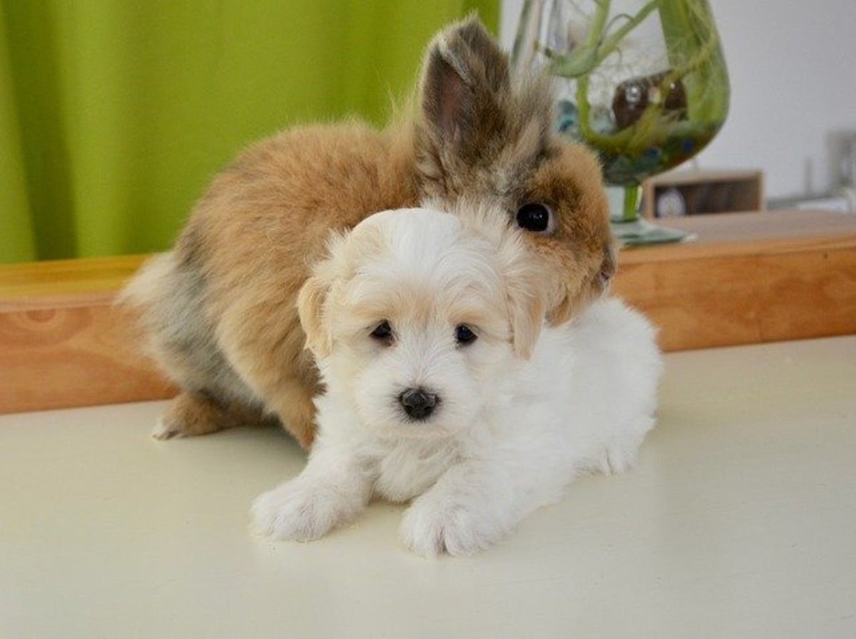 A young puppy and a young rabbit can potentially grow into great pals.