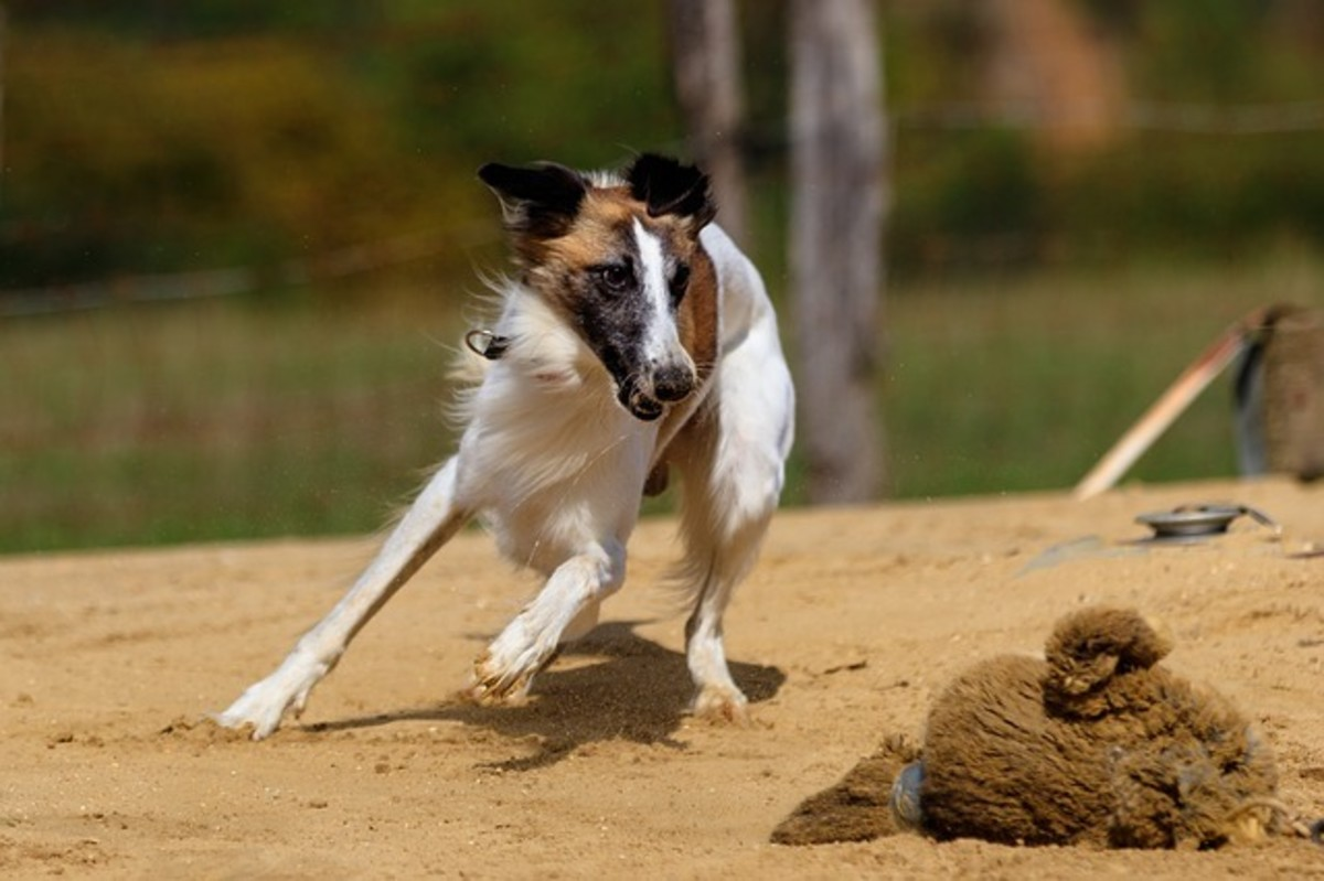 Sighthounds have been selectively bred to chase rabbits