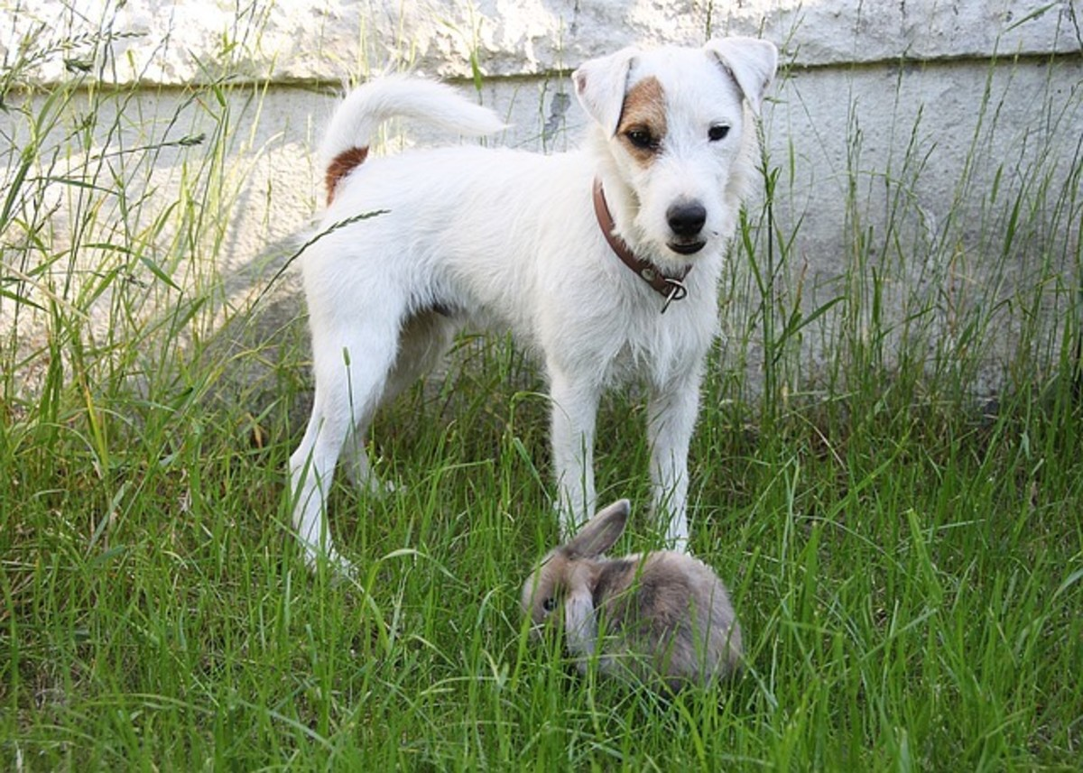 Introducing a dog to a rabbit requires the utmost safety.